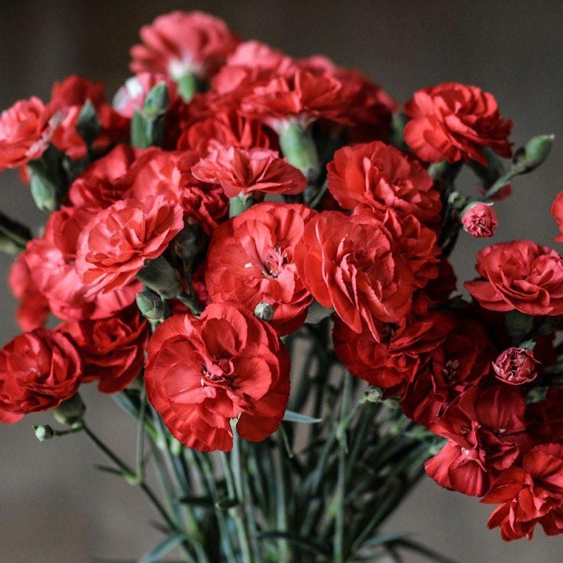 Flores Européias Cravo