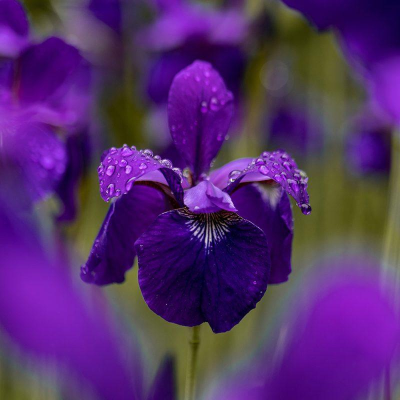 Flores Européias Flor de Íris