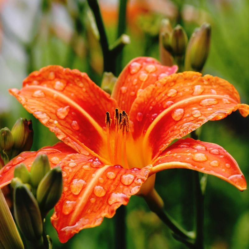 Flores Européias Lírios