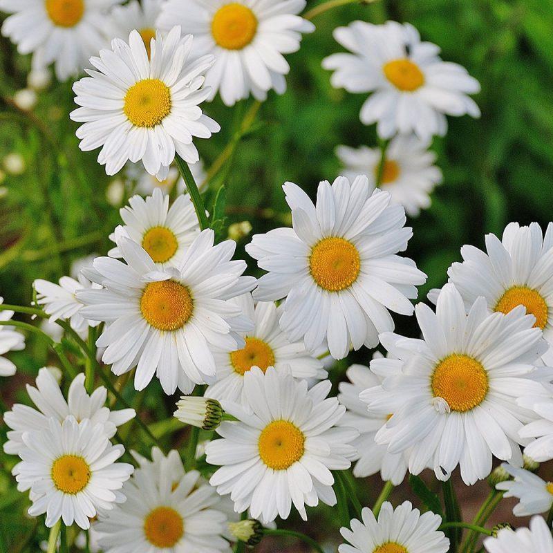 Flores Européias Margaridas