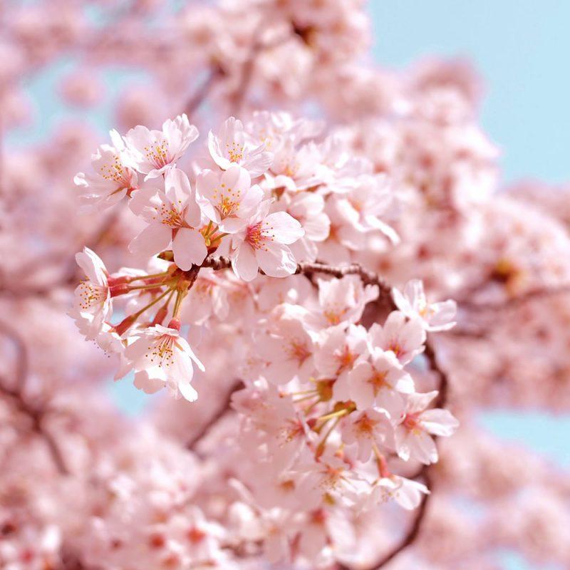 Flores Asiáticas Flor de Cerejeira