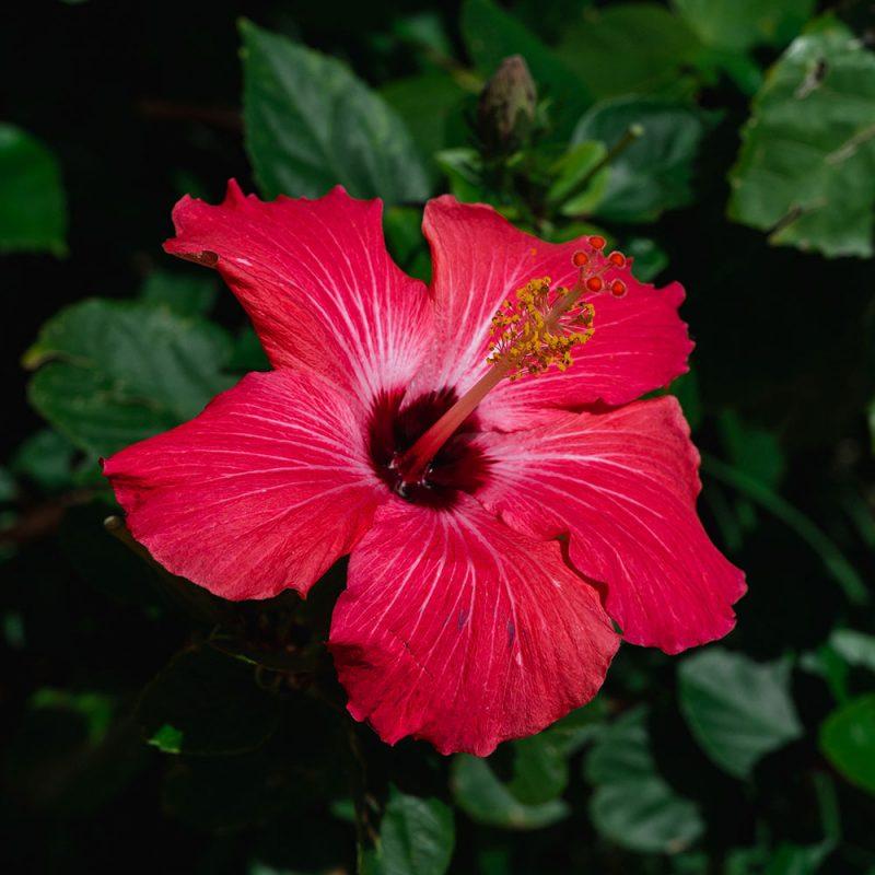 Flores Asiáticas Flor de Hibisco
