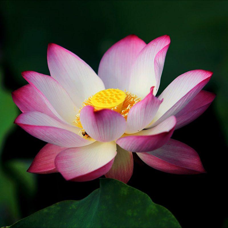 Flores Asiáticas Flor de Lótus