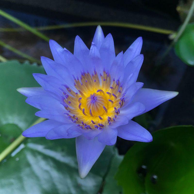 Flores Asiáticas Lírio D'agua