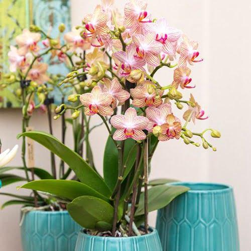 Arranjo de orquídeas artificiais com vaso azul