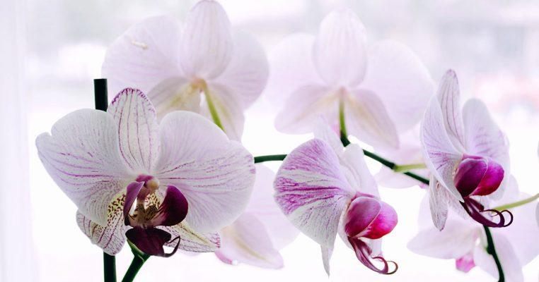 Orquídea de Silicone - Crysmax